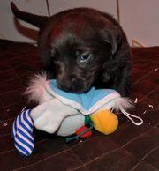 Labradorwelpen suchen ein Zuhause
