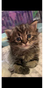 Reinrassige Sibirische Katzen Wurf vom