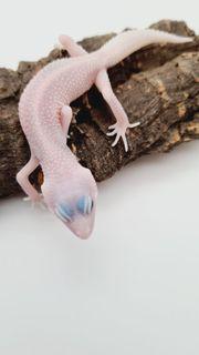 Universe leopardgecko