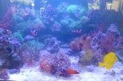 MEERWASSER - wunderschöne Korallen Ableger auch