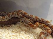 Kornnatter 2 x Sunkissed Männchen