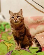 Barsik - kleiner Schmusetiger sucht Dosenöffner