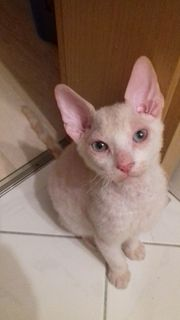 Don-Sphynx Katerchen