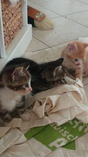 Niedliche Katzenjunge abzugeben
