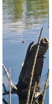 suche Rotwangenschildkröten