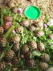 Griechische Landschildkröten mit EU-Papieren Cites