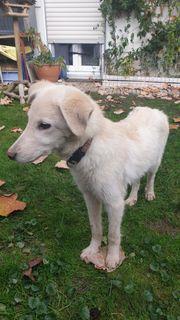 Labradormischling Junghund