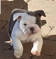 New english bulldog Neb Old