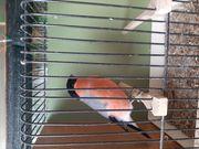 Nordische Dompfaff vogel