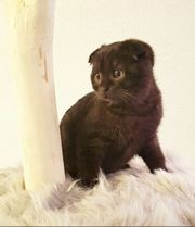 100 Scottish fold Kätzchen Kitten