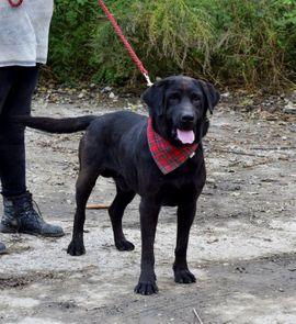 Hunde - DYX Labrador Mischling - sportlich intelligent