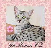 Ägyptisches Mau Kätzchen