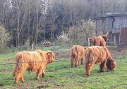 Schottisch Highland Cattle