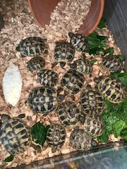 griechische Landschildkröten Schildkröten Schildi aus