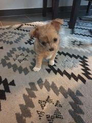 Chihuahua Welpe Rüde Merle geimpft