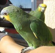 Grüner Papagei entflogen Amazone