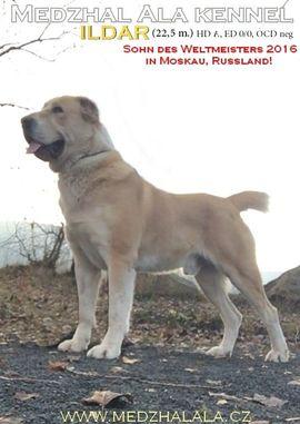 Hunde - Zentralasiatischer Owtscharka Mittelasiatischer Owt Alabai -