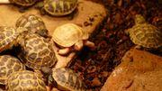 Vierzehen Landschildkröten Russische Landschildkröten von