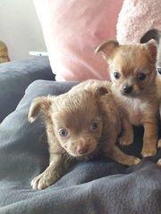 zuckersüße Chihuahua Welpen suchen ein