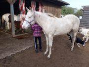 Paint Horse Stute in sonder