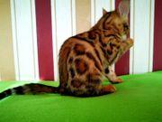 6 Reinrassige Bengal Kitten mit