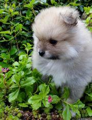 Süße Zwergspitz Pomeranian Welpen