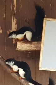 Eichhörnchen Schönhörnchen prevosti