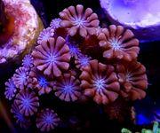 Korallen Ableger von SPS LPS