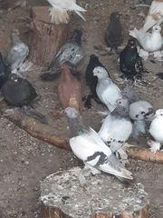 Tauben zu verkaufen