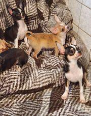 Verkaufe 4 wunderschöne Chihuahuawelpen