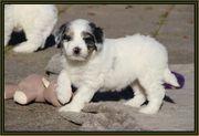 AUSSIEDOODLE -der perfekte Familienhund Kein