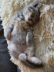 Britisch Kurzhaar BKH Kitten