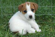 Kleinen Hund