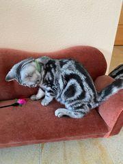 Reinrassige BKH Kitten Babykatzen - abholbereit