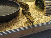 Boa Constrictor inkl Terrarium