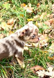 Süße Mini kleine Chihuahua Welpen