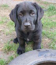Labrador Welpe auszugsbereit