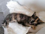 Süße EKH Kitten