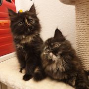 Wunderschöne Persermix Kätzchen schwarz-ginger suchen