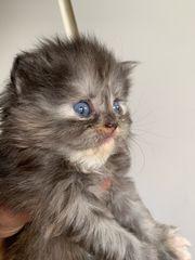 Perser Kätzchen mit schöner Nase