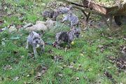 niedliche kleine Frabzösische Bulldogge Welpen