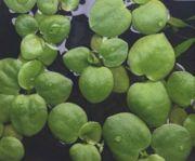 Schwimmpflanzen Froschbiss - die Algenkiller gerne