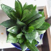 Zimmer Grünpflanze - Bogenhanf mit vielen