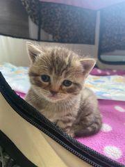BHK Kätzchen
