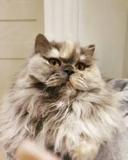 Wunderschöne BLH Katze in Blue