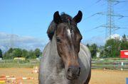 Pony zu verkaufen