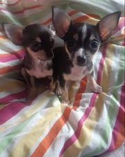 Zwerg Chihuahua Chihuahua Welpe