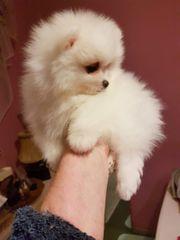 Mini zwergspitz Pomeranian welpenReinrassige Pomeranian
