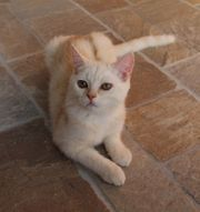 Creme tabby BKH Scottish Straight