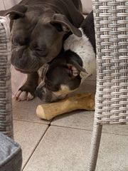 American Bully Welpen Extrem